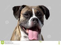 boxer dog t shirts uk flashy brindle boxer dog portrait with tongue sticking out on