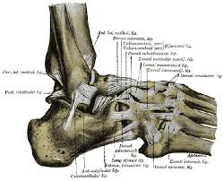 Anatomy Of The Calcaneus Foot Ankle Anatomy Pictures Function Treatment Sprain Pain