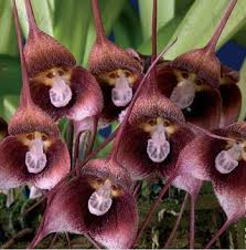 monkey orchid 12 best monkey orchids images on monkey orchid