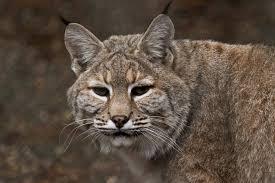 Oregon wild animals images Home wildlife images rehabilitation and education center jpg