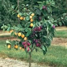 best 25 multi fruit tree ideas on buy fruit trees