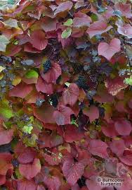 vitis from burncoose nurseries