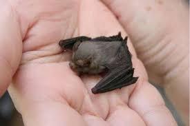 bats for sale view topic bumblebee bats species sale chicken smoothie