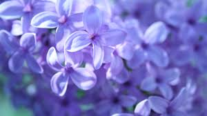 purple flower free purple flower wallpaper hd wallpapers