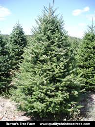 balsam tree wholesale christmas trees
