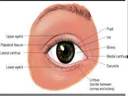 Anatomy Of The Eye Func Anatomy Of Eye