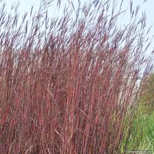 andropogon october big bluestem grass american