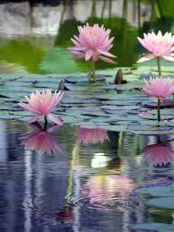 Lotus Flower In Muddy Water - lotus blossoms