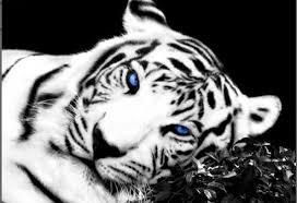 white tiger blue 45x32 inch 113x80cm xl single canvas picture