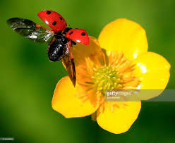 close up of ladybug landing on a buttercup flower stock photo