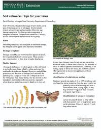 sod webworm tips for your lawn msu extension