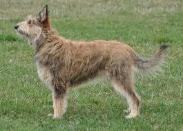 belgian sheepdog german shepherd mix berger picard wikipedia
