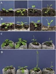 arabidopsis dna topoisomerase i alpha is required for adaptive