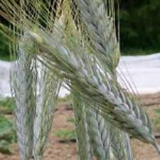 wheat seeds silver tip triticale