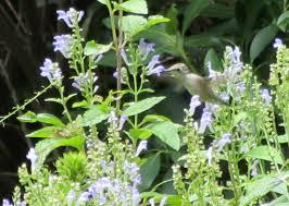 using georgia native plants hummingbird favorites in my garden using georgia native plants the hummingbird games