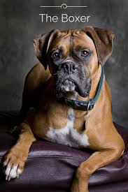 boxer dog 2015 962 best boxers awesome dogs images on pinterest boxer love