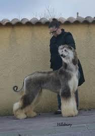 afghan hound 9 months curioso афганская борзая pinterest