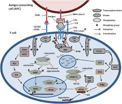 Sk Ii Sle frontiers disturbed t cell signaling and altered th17 and