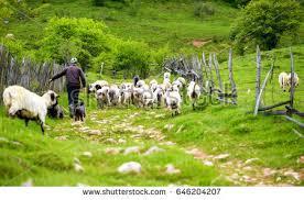 Shepherd His Sheep Stock Photo 646204207 Shutterstock