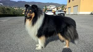 australian shepherd 7 mesi cane da pastore scozzese a pelo lungo wikiwand