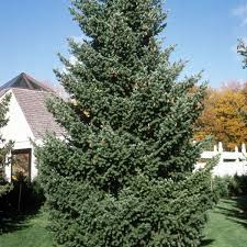douglas fir trees buy at nature nursery