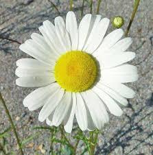 Daisy The Flower - chrysanthemum photos the flower expert flowers encyclopedia