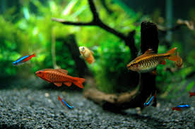 Garden Pond Fish Types Good First Fish For Your Home Aquarium