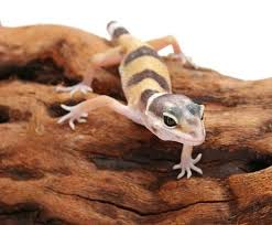 leopard gecko lighting at night leopard gecko care sheet