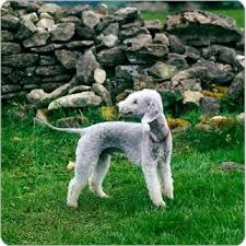 bedlington terrier guard dog bedlington terrier dog breeds purina australia