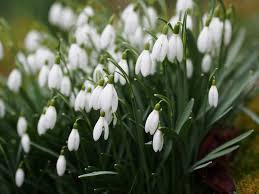 special snowdrop gardens talks events and open days for 2017