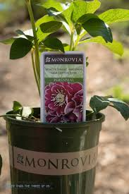 tips for creating a shade lover u0027s garden with monrovia plants