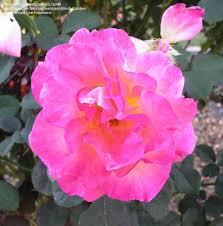 mardi gras roses plantfiles pictures floribunda mardi gras rosa by calif sue