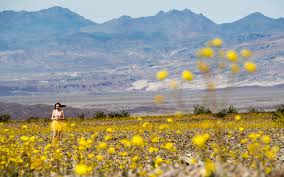 death valley is expriencing a colorful u0027super bloom u0027 travel