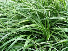 ornamental grasses wholesale nursery supplies plant growers in