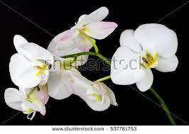 White Orchid Flower Closeup White Orchid Flower Zen Art Stock Photo 537781753