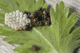 was ist das für ein insekt eine wanze oder was urlaub insekten wanze blattwanze insekt kostenloses foto auf pixabay