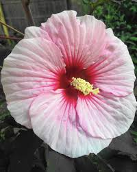 Which State Has A Hibiscus by Hardy Hibiscus Adds Tropical Beauty To Chicago Area Gardens