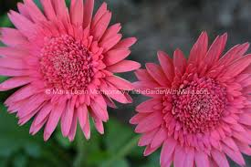 gerbera daisies in the garden with maria