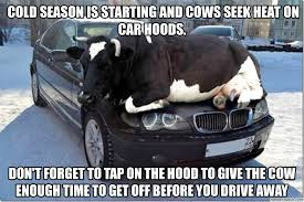 Tractor Meme - cold season is starting and cows seek heat on car hoods