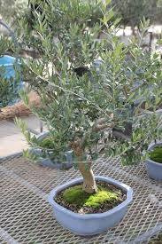 the town of bonsai olives stouchi finder