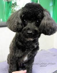 pictures of poodle haircuts grooming your furry friend does a poodle have to be groomed like