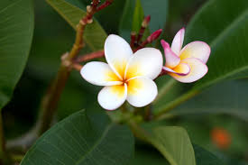 plumeria flowers frangipani tropical spa flower plumeria flower on plant photo