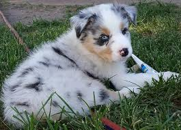 australian shepherd dog for sale australian shepherd puppies wild wings australian shepherds