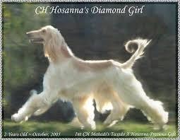 us afghan hound akc champion afghan hound ch hosanna u0027s diamond beautful