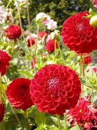 Zinnias Flowers 54 Best Zinnias Images On Pinterest Flowers Zinnias And Cut Flowers