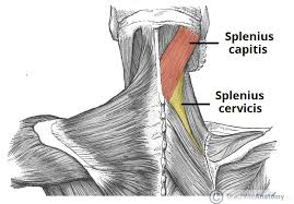 Anatomy And Physiology Of The Back The Intrinsic Back Muscles Attachments Actions Teachmeanatomy