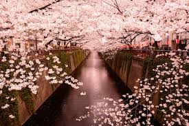 cherry blossom pics cherry blossom in japan everything you need to know to plan a trip