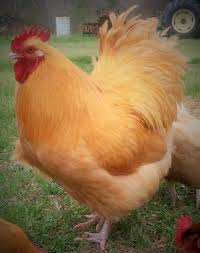 english buff orpington rooster backyard chickens