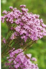 bird attracting native plants 56 best vernonia images on pinterest native plants butterfly
