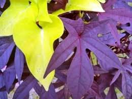 ornamental sweet potato vine the morning s cousin care2
